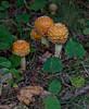, Mushrooms and fungi of Maine