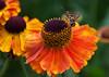 Hover Fly on Helenium flower, Phippsburg Maine mid August