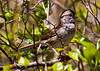 White-throat sparrow in leaf canopy, spring time, Phippsburg Maine