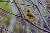 Palm Warbler, spring, Phippsburg, Maine. This is a migratory bird in Maine.