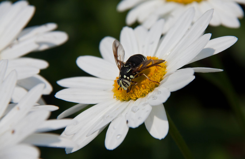 White Faced Wasp feeding on pollen of daisy in Maine, coastal garden