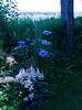 Blue of evening, when the sun begins to set the blue colors in light are more pronounced. Phippsburg, Maine garden, astilbe, feverfew, Japanese iris and Foxglove flowers in pinks, white and blue