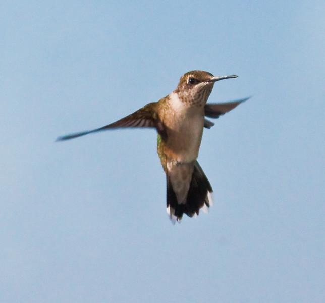 Ruby-throated hummingbird, juvenile in flight, Phippsburg Maine