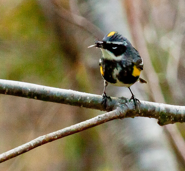 Yellow-rumpled warbler, male in full breeding plumage with fly in its bill. May, Phippsburg Maine. A few Yellow-rumps stay for the winter, but they are predominantly migratory in coastal Maine.