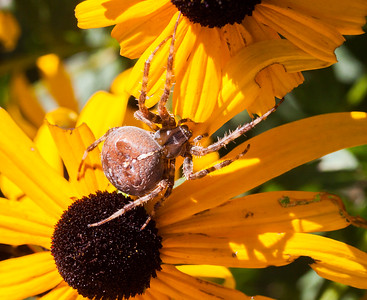 Cross Spider,  Araneus diadematus is a variety of Orb Weaver.