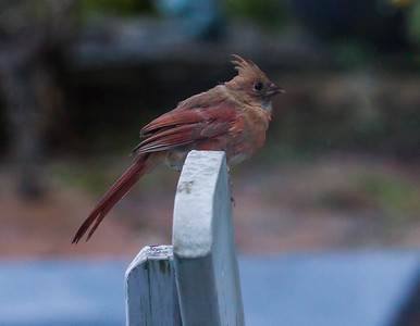 Northern Cardinals are now common birds on the Maine coast, though not inland as much. Over the past few decades, they have made their way north and now reside here full time. I have a  mated pair living at my house in Phippsburg Maine. They have been here for years and hatch a brood each summer.