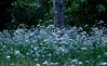 field of Valerian, white wildflower, Maine with trunk of Poplar tree, summer, some yellow buttercups on the left