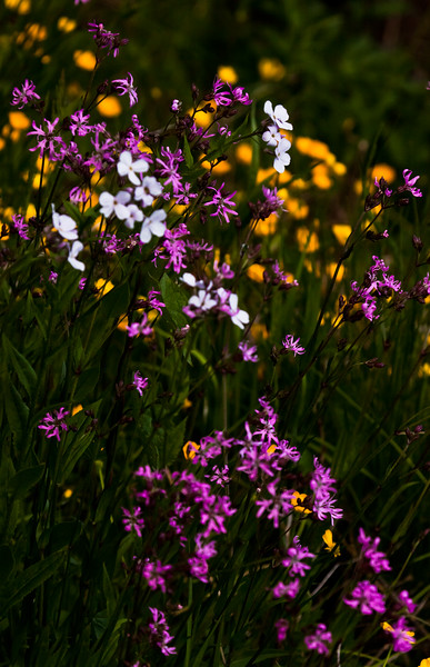 Dame's Rocket, Flos-cuculi and Buttercups, Maine wildflowers, Phippsburg