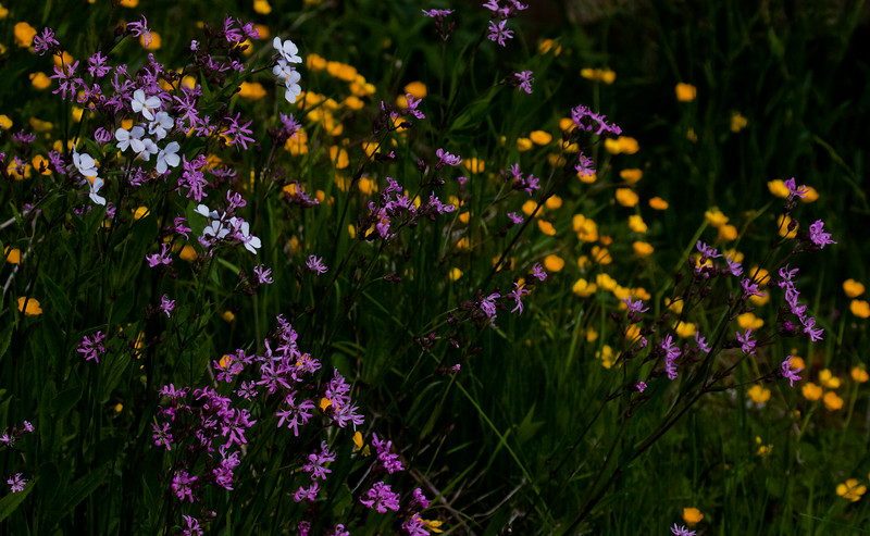 Dame's Rocket, Ragged Robin and Buttercups