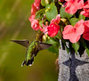 Ruby-throated hummingbird, female feeding on impatiens on my deck, Phippsburg, Maine