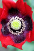 Brilliant, red Opium poppy in my Phippsburg Maine garden