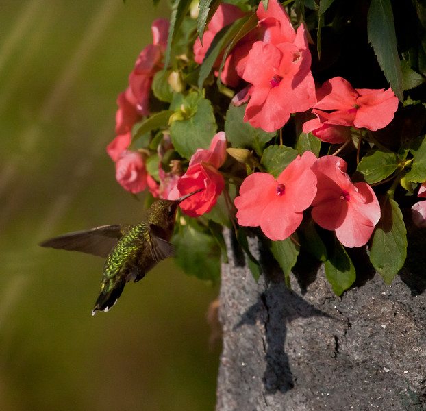 Hummingbird In Impatiens