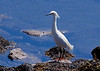 Snowy egret standing on rocks with sea weed on shore, Phippsburg Maine