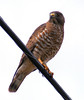 Broad-winged hawk on a wire, Phippsburg Maine