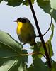 Yellowthroat warbler Geothlypis trichas, Common Yellowthroat Warbler, Geothlypis trichas.  ,  Common Yellowthroat warbler Geothlypis trichas