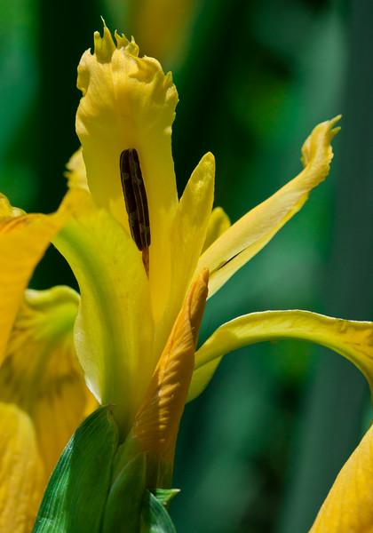 Yellow Flag iris, iris psuedocorus, native Maine indigenous wildflower, Phippsburg, Maine. Stately, four foot tall irises bloom in early summer in coastal Maine