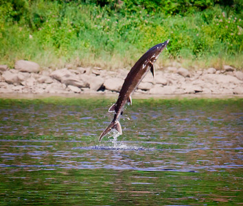 Short Nosed Sturgeon leaping from Kennebec River, Augusta, Maine