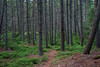 Spruce tree forest on Malaga Island, Phippsburg, Maine Sebasco Estates