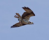 Osprey With Alewife, flight, right facing. Alewives are a type of river herring, common on the coast of Maine in spring time