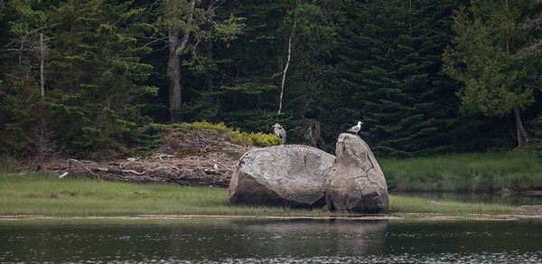 Glacial erratic boulders, Small Point, Lobster Cove, Phippsburg Maine with Great Blue Heron and Herring Gull perched on top.