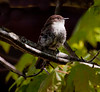 Eastern phoebe, female perched on branch, right facing, Phippsburg Maine