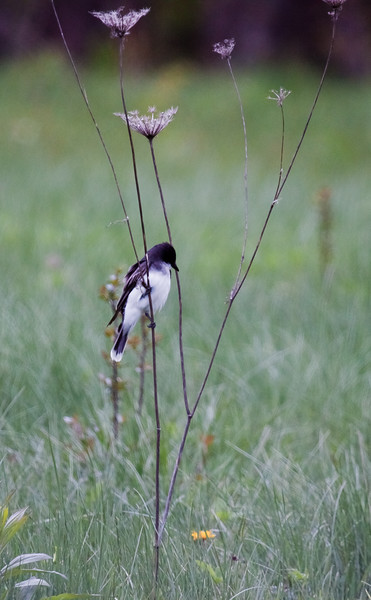 Eastern Kingbird, male perched on dried Queen Anne's Lace, summer, Phippsburg Maine. The bird was hunting insects in the field