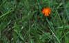 Pilosella aurantiaca, Devil's Paintbrush