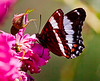 For more butterfly and moth photos, visit the insect gallery buttery Maine, For more butterfly and moth photos, visit the insect gallery