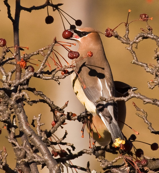 Cedar Waxwing eating a crab apple, rear view, Phippsburg, Maine in winter