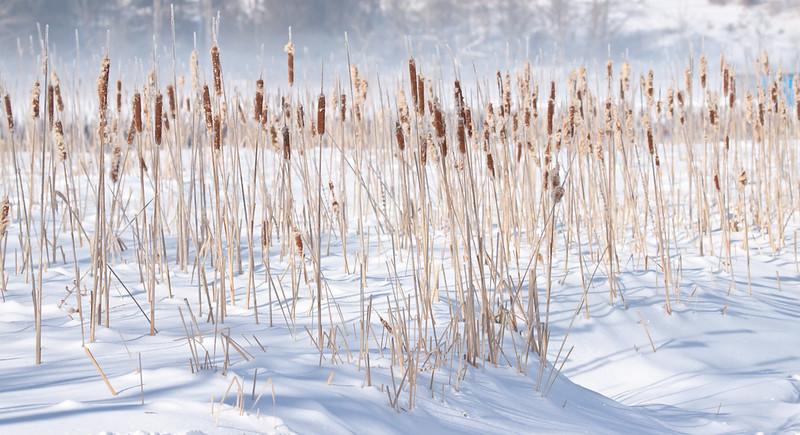 Cat O' Ninetails in snow, winter marsh scene, Phippsburg, Maine, habitat for birds and rodents