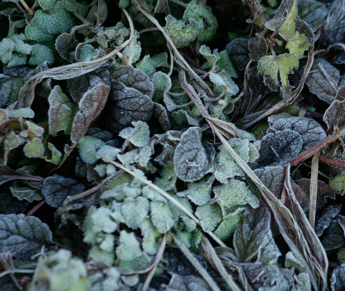 Frost on Ajuga and lamium in my coastal Maine, Phippsburg garden