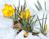 Yellow crocuses poking through an April, late spring snow storm in Phippsburg, Maine. BBrrrrrr! What a drop of sunshine and warmth these brave blooms were!