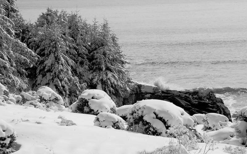 Winter scene in snow on Totman Cove, Phippsburg, Maine. See the fox tracks in the snow on the left? I think this snow looks like old fashioned, boiled frosting. After the snow fall, there was a little rain and then it froze into a crust on top. surf crashing on rocks and burdened conifers, black and white