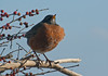 North American robin, male perched with winterberries, Phippsburg, Maine, January 2009