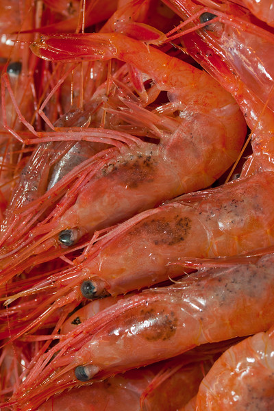 shrimp are harvested in  winter in Maine