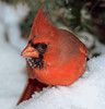 red, male Northern Cardinal sitting in snow, close up, Phippsburg, Maine