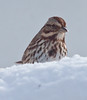 Song sparrow in snow, close up, winter song bird, Phippsburg, Maine