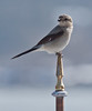 Northern Shrike perched atop a weathervane, Phippsburg, Maine, closeup