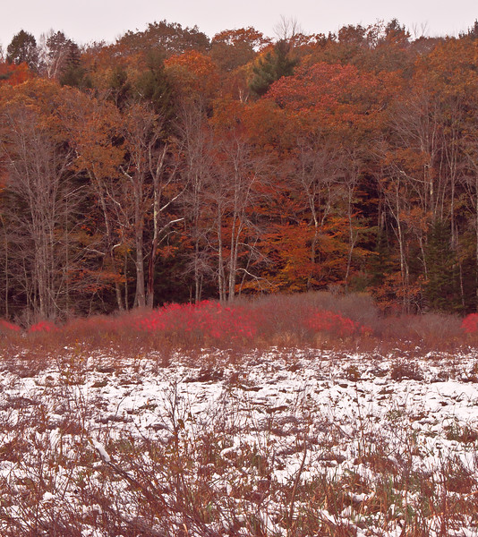 Ashdale Marsh, Phippsburg, Maine, habitat, winterberry and oak in autumn color, snow