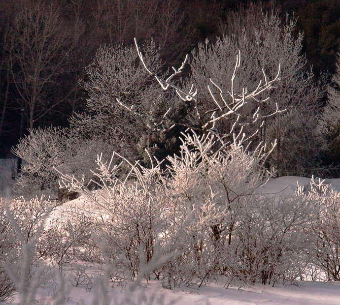 shrubs and trees frosted with snow and ice. Snow fog rose from ground snow, then froze to the branches colder than the surrounding air. Snow fog is usually a late winter, early spring phenomenon where water vapor rising from snow when air temperatures suddenly become warmer than the ground. This image was captured in February.