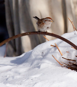 American Tree Sparrow, January, in winter with snow, Phippsburg, Maine, perched on repurposed hay rake tines in my coastal garden