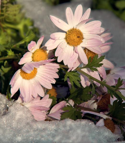 late blooming, pink, perennial chrysanthemums in snow, Phippsburg, Maine coastal gardens, winter,