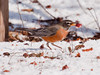 North American robin eating crab apple in the snow, Maine, March 2011