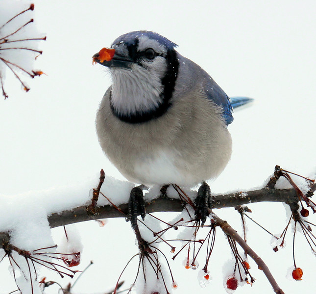 Blue Jay eating crab apples, winter, Phippsburg, Maine