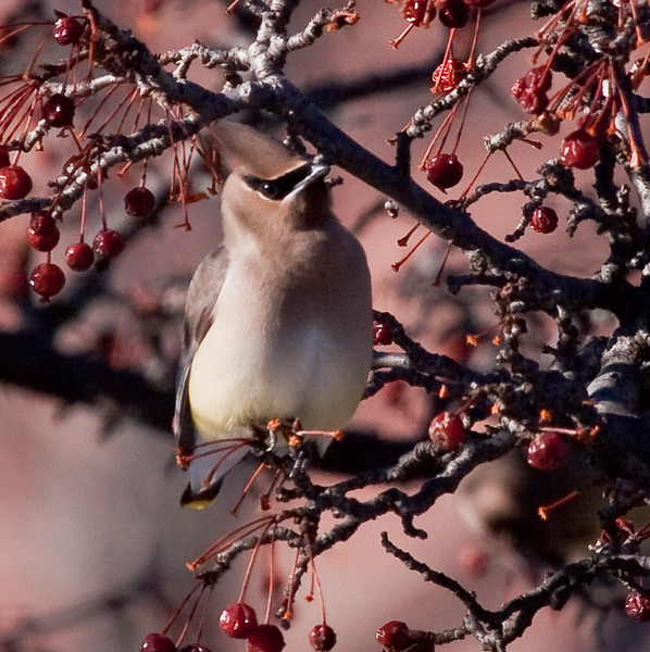 Cedar Waxwing in crab apple tree, close up, Phippsburg, Maine