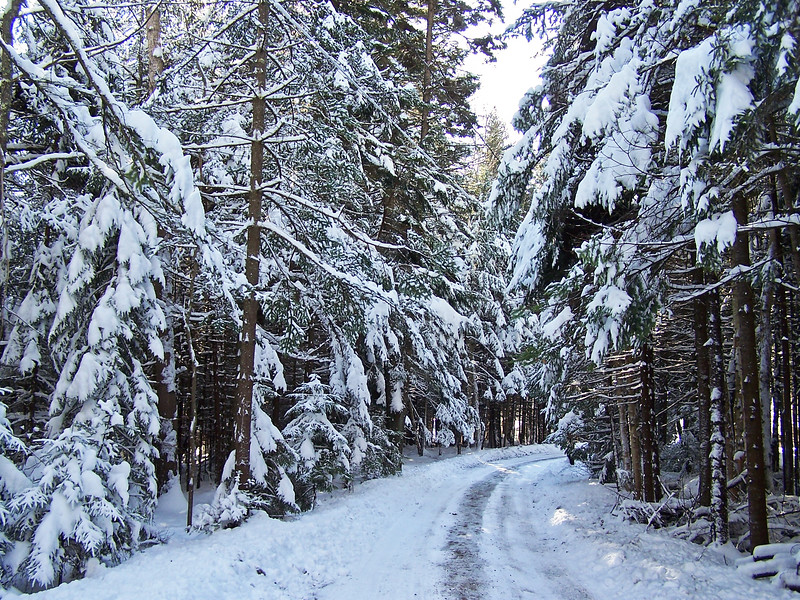 Forest in winter snow, Periwinkle Lane, Phippsburg Maine