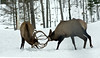 Deer fighting, antlers interlocked, in snow, Jefferson, Maine, wild animals in the woods