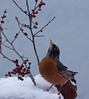 North American robin about to jump up to berries, snow, winter song bird, PHippsburg, Maine. Red berries are Winterberry, Ilex verticillata, a native Maine shrub that is a deciduous holly