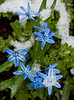 blue Siberian squill in snow, Phippsburg, Maine Sagadahoc County in April! Poor little darlings! How valiant they are!
