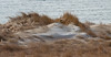 Sand dunes in winter with snow, Atlantic Ocean, Phippsburg Maine coastal scene, barrier dunes, Popham Beach State Park